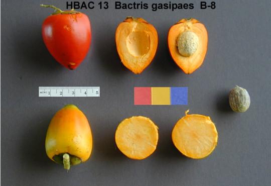 Pupunha (Bactris gasipaes) {{PD-USGov-USDA}}