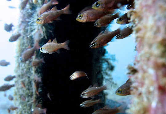 School of Cardinal Fish © L. Tanpian