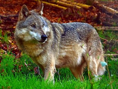 Wolf_by_Rudolpho Duba_pixelio.de