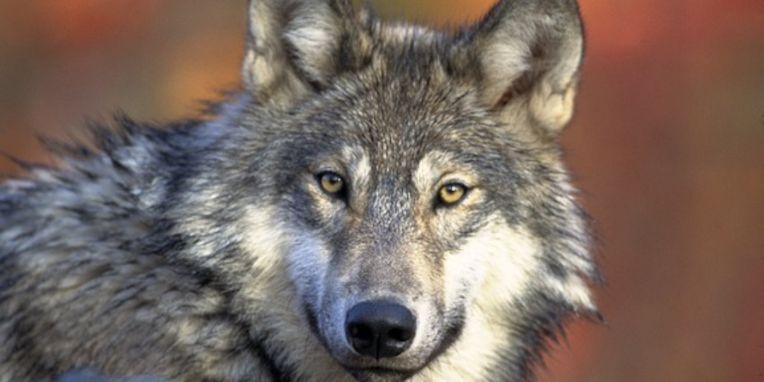 Thema Wolf